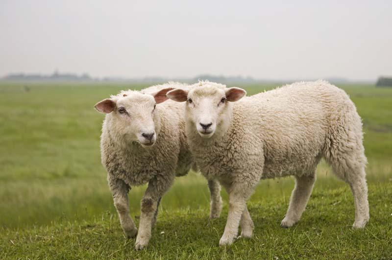 Lamm/Schaf